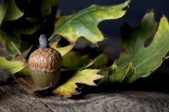 与橡木叶子的橡子 库存照片