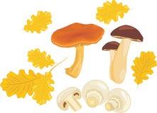 与橡木叶子的蘑菇 库存图片