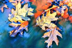 与橡木的秋天背景在水留下漂浮 免版税库存照片