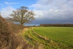 与橡树和幼木谷物的冬天树篱播种 库存照片