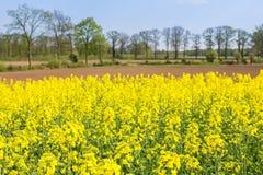 与橡树的开花的荷兰油菜籽领域 图库摄影