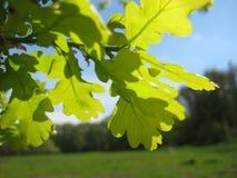 与橡树的鲜绿色的年轻叶子的宏观照片在被弄脏的风景背景的 库存照片