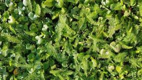 与欧蓍草和三叶草叶子的绿色植物背景 免版税库存照片
