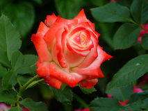 与步枪绿色叶子的白色和红色玫瑰 库存图片