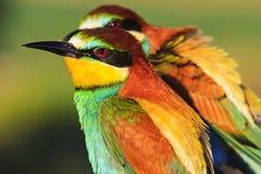与死的黑额嘴的异乎寻常的鸟 图库摄影