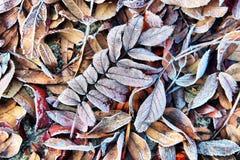 与死结冰的叶子的秋天背景在树冰 免版税图库摄影