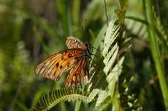 与残破的翼的橙色蝴蝶 免版税库存图片