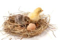与残破的蛋壳的两个婴孩鸡在白色背景的秸杆巢 免版税库存照片