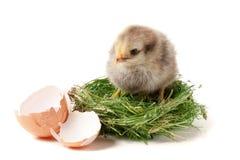 与残破的蛋壳的婴孩鸡在白色背景的秸杆巢 免版税图库摄影