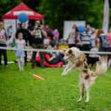 与殷勤传神眼睛的精力充沛的狗在传染性的飞碟圆盘,跃迁片刻期间的夏天公园 幸福 免版税图库摄影