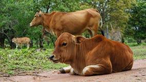 与母亲动物的幼小母牛 免版税图库摄影