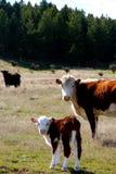与母亲新西兰种田的幼小小牛 免版税库存照片