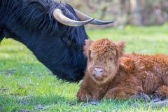 与母亲母牛的新出生的苏格兰高地居民小牛 库存照片