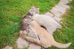 与母亲猫的可爱的小小猫 护理她在木地板上的波斯母亲猫小的小猫在葡萄酒作用样式 免版税库存照片