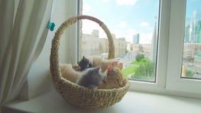 与母亲猫的逗人喜爱的小猫 股票录像
