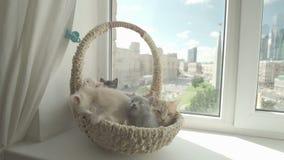 与母亲猫的逗人喜爱的小猫 股票视频