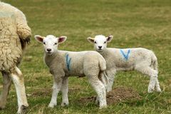 与母亲的两只逗人喜爱的羊羔 库存图片