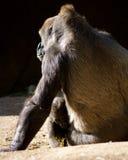与母亲的小大猩猩 图库摄影