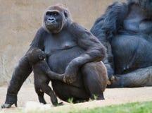 与母亲的小大猩猩 库存照片