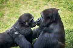 与母亲的小大猩猩 免版税库存照片