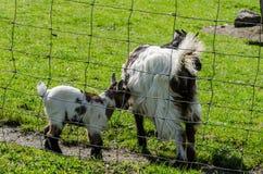 与母亲的小山羊 免版税库存照片