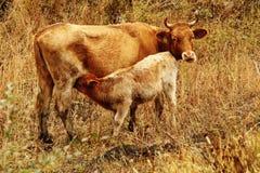 与母亲的小牛 库存图片