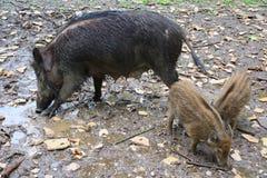与母亲的小猪野公猪 免版税库存照片