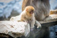 与母亲的小猴子 免版税图库摄影