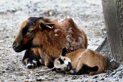 与母亲的小的山羊 免版税库存照片