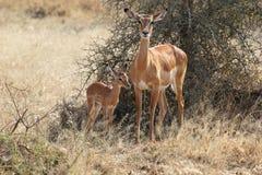 与母亲的小飞羚 免版税库存图片