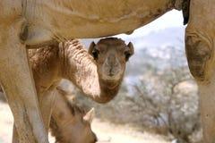 与母亲的小骆驼 库存图片