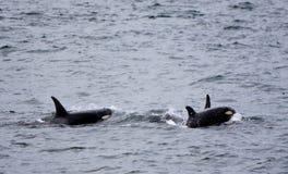 与母亲的小鲸鱼 库存照片