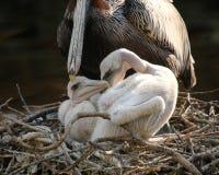 与母亲的小鹈鹕 免版税库存图片