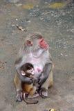 与母亲的小猴子 图库摄影