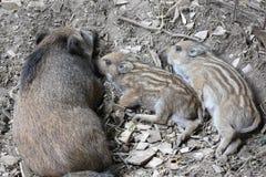 与母亲的幼小野公猪 库存图片