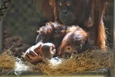 与母亲的幼小猴子 图库摄影