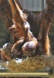与母亲的幼小猴子 免版税库存图片