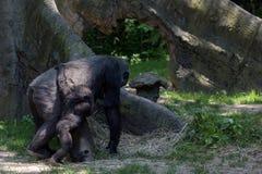 与母亲的新出生的小大猩猩 库存照片