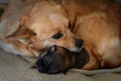 与母亲的新出生的小狗 母性本能的概念 免版税图库摄影