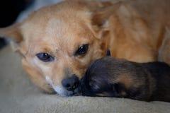 与母亲的新出生的小狗 母性本能的概念 图库摄影