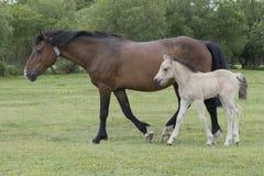 与母亲的新的森林小马驹 免版税库存图片