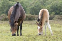 与母亲的新的森林小马驹 库存照片