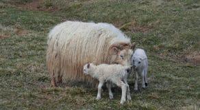 与母亲的毛茸的新出生的双羊羔 库存图片