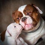 与母亲的滑稽的美国牛头犬小狗 图库摄影