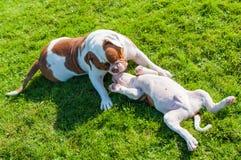 与母亲的滑稽的美国牛头犬小狗 免版税库存图片