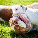 与母亲的滑稽的美国牛头犬小狗 库存照片