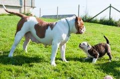 与母亲的滑稽的美国牛头犬小狗 免版税图库摄影