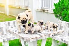 与母亲的逗人喜爱的小狗哈巴狗 免版税库存图片