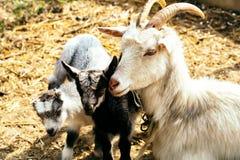 与母亲的逗人喜爱的山羊孩子 图库摄影