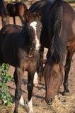 与母亲的马驹 库存图片